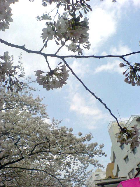 桜。イランよ耐えてくれ_b0048025_11263779.jpg