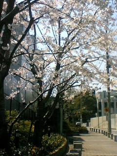 桜_c0075725_1231238.jpg