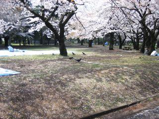 桜その2_d0075828_1523335.jpg