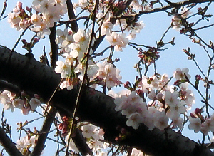 下から見上げた桜の木。半分程度咲いてる桜。満開になったらさぞや綺麗でしょう。