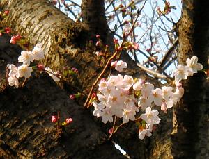 桜の木の幹のところに咲いている桜。黒っぽい木にピンクの花びらが映えています。まだ蕾が多いです。