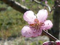 新府の桃は間もなく開花宣言?_f0019247_061645.jpg