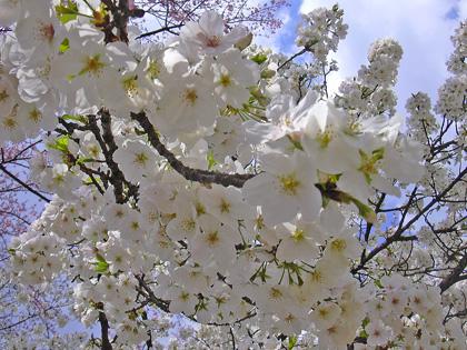 3月30日 さくら、さくら・・・2007_a0001354_22594488.jpg