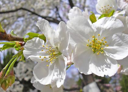 3月30日 さくら、さくら・・・2007_a0001354_2304329.jpg