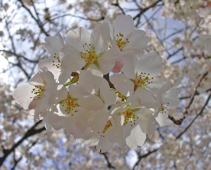 3月30日 さくら、さくら・・・2007_a0001354_2343645.jpg
