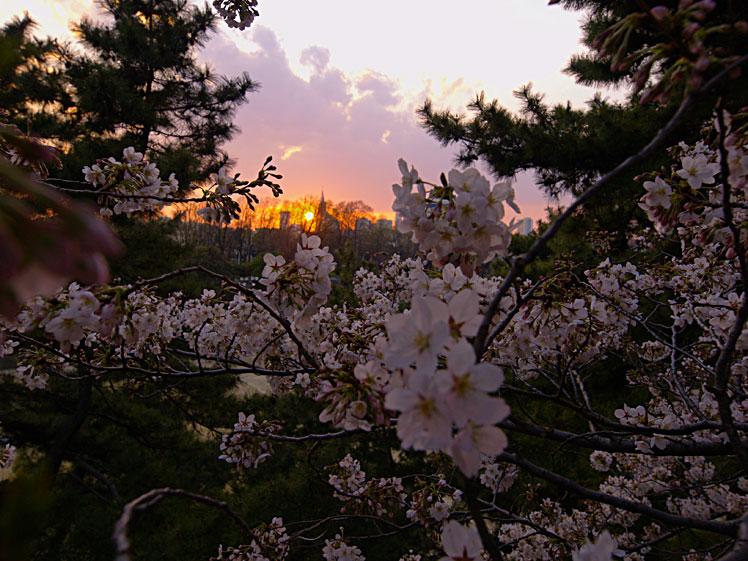 雨に耐え 命燃やすや 桜花 ✿ฺ´☆`✿ฺ_a0031363_2341442.jpg