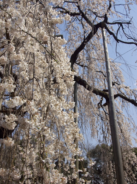 桜瀑布_f0018464_8224746.jpg