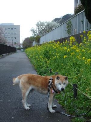 コンちゃんの久里浜桜情報〜〜_b0001465_11133533.jpg