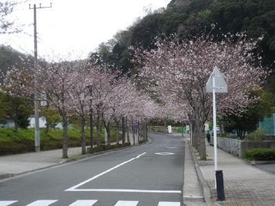 コンちゃんの久里浜桜情報〜〜_b0001465_11145386.jpg