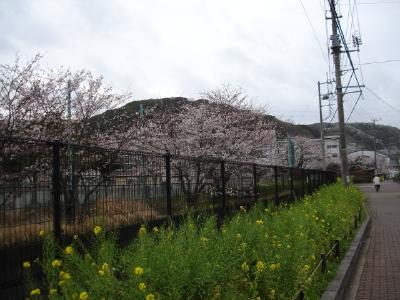 コンちゃんの久里浜桜情報〜〜_b0001465_1163822.jpg