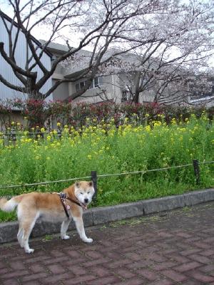 コンちゃんの久里浜桜情報〜〜_b0001465_1181251.jpg