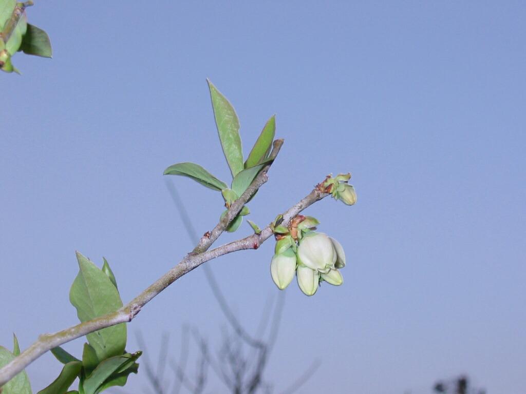 ブルーベリーの栽培南限_f0018078_19164957.jpg