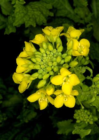 菜の花とアメリカ芍薬それと5年前から名前が判らない花_d0111087_7594649.jpg