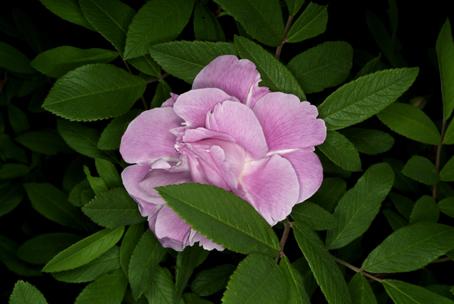 菜の花とアメリカ芍薬それと5年前から名前が判らない花_d0111087_80111.jpg