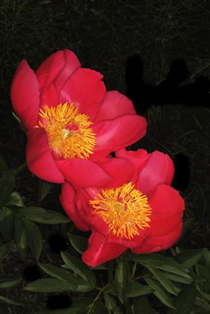 菜の花とアメリカ芍薬それと5年前から名前が判らない花_d0111087_801649.jpg