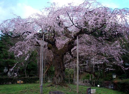 京都 円山公園_e0048413_16132331.jpg
