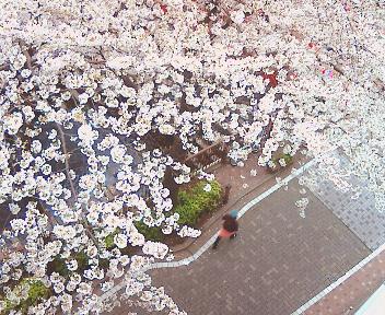 桜満開♪ A primavera chegou! no Japão 2007_b0032617_1785231.jpg