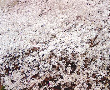 桜満開♪ A primavera chegou! no Japão 2007_b0032617_179236.jpg