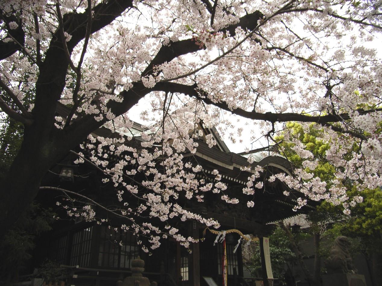 桜花散る 最後を飾る_d0091021_2205538.jpg