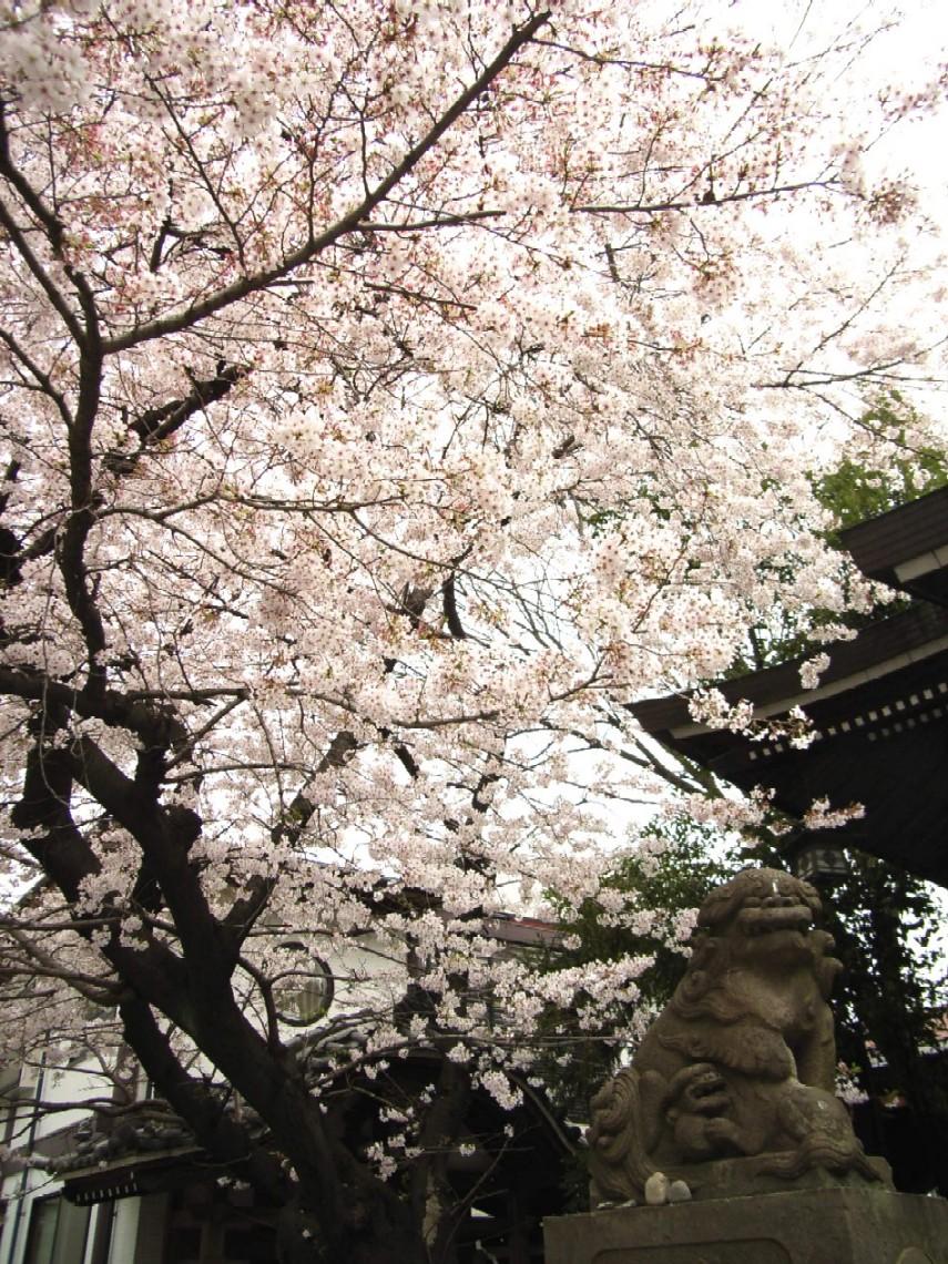 桜花散る 最後を飾る_d0091021_2214962.jpg