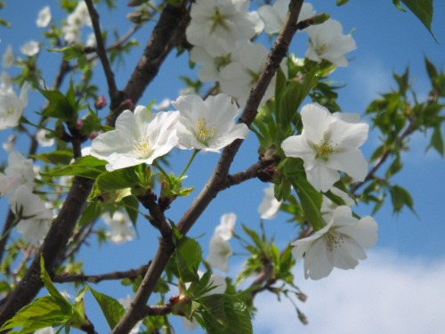 見た目には桜なの?と疑問に思うような白いあっさりした花びら。青い空を背景に、真っ白な花びらが際立っています。