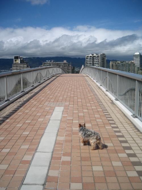 タイル張りのアーチを描く橋。橋の向こうには高層マンションが立ち並んでいます。そしてその向こうには六甲山が。橋の手前側にグレーの毛並みのワンコ。躊躇うような格好をして向こうを向いています。