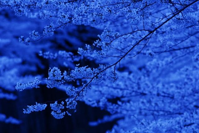 櫻 桜 さくら サクラ SAKURA_f0050534_9192512.jpg