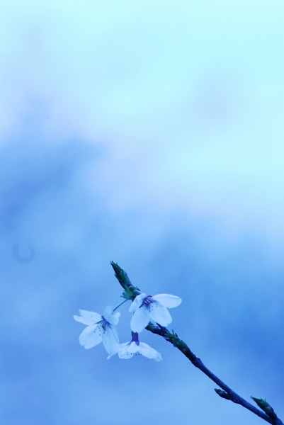 櫻 桜 さくら サクラ SAKURA_f0050534_9215823.jpg