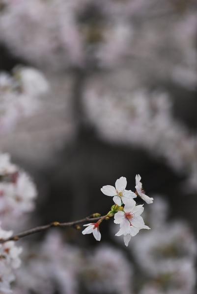 櫻 桜 さくら サクラ SAKURA_f0050534_9222815.jpg