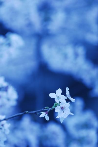 櫻 桜 さくら サクラ SAKURA_f0050534_9224496.jpg