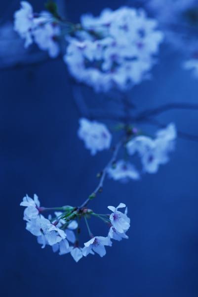 櫻 桜 さくら サクラ SAKURA_f0050534_923059.jpg