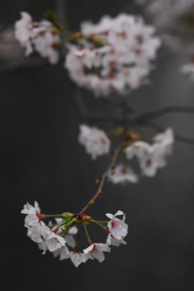 櫻 桜 さくら サクラ SAKURA_f0050534_9231414.jpg