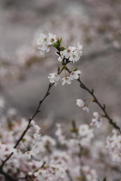 櫻 桜 さくら サクラ SAKURA_f0050534_9242092.jpg