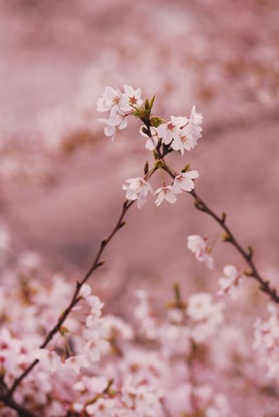 櫻 桜 さくら サクラ SAKURA_f0050534_9243394.jpg
