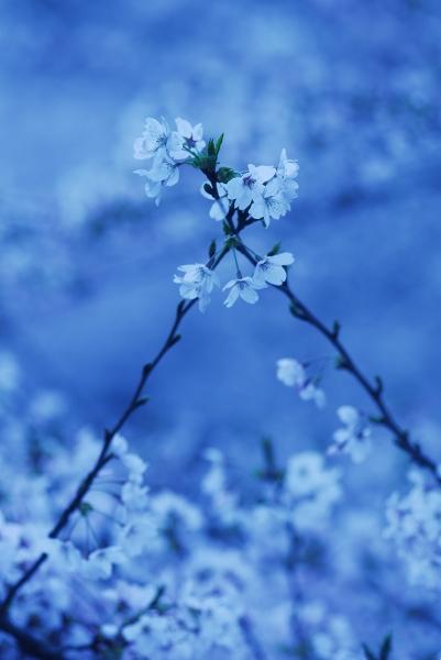 櫻 桜 さくら サクラ SAKURA_f0050534_924657.jpg