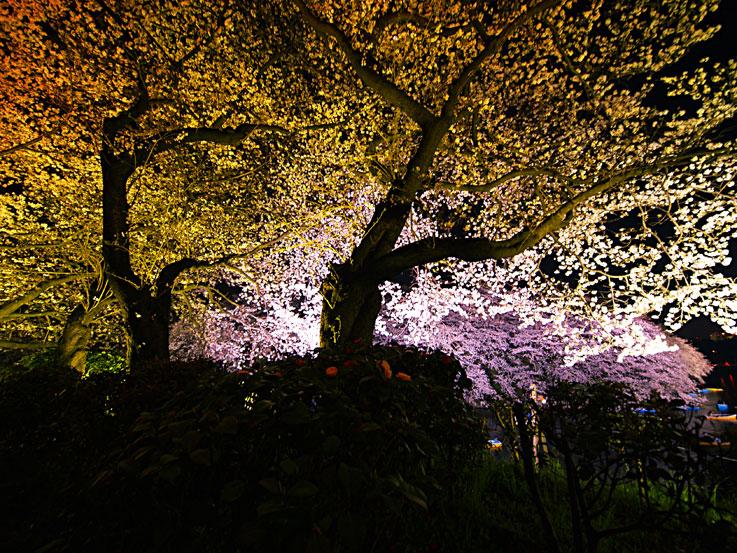 夜桜の精に惑うて迷子道 ✿ฺ´☆`✿ฺ_a0031363_13401050.jpg