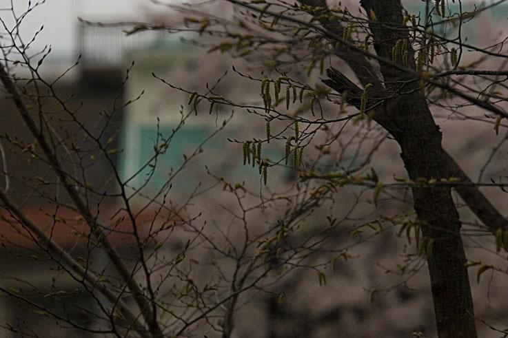 曇天の桜を背なに芽吹きかな ✿ฺ´☆`✿ฺ_a0031363_1745726.jpg
