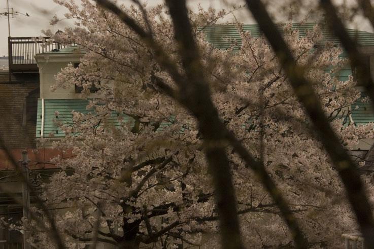 曇天の桜を背なに芽吹きかな ✿ฺ´☆`✿ฺ_a0031363_1763748.jpg
