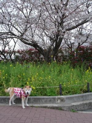 苺ママのお洋服〜と今日の桜コン_b0001465_11292261.jpg