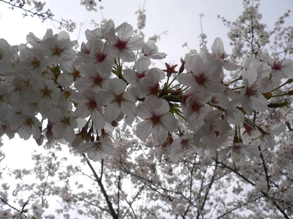 お花見_d0088196_23252117.jpg