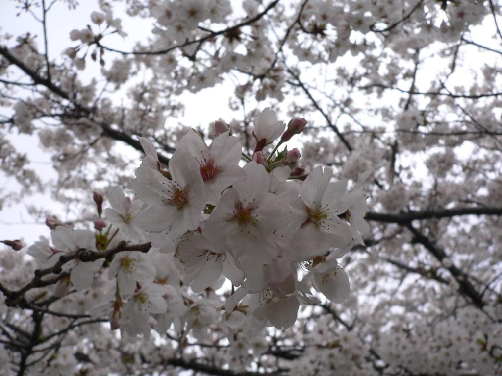 お花見_d0088196_23262932.jpg