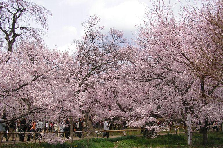 とにかく桜