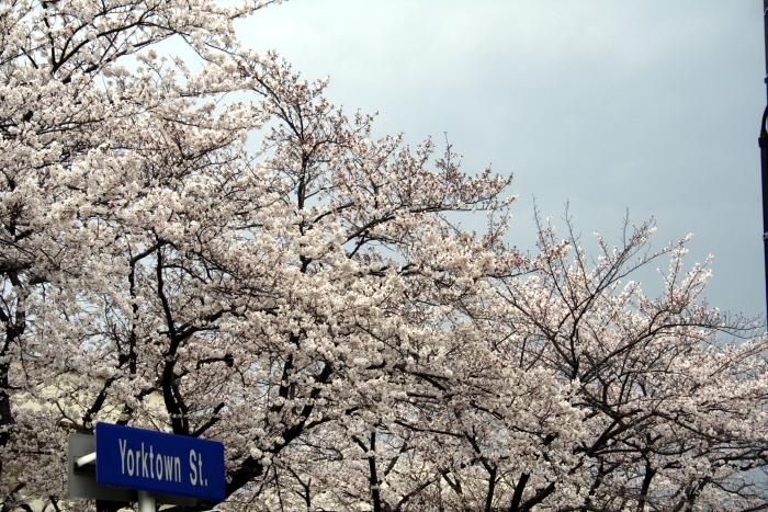 Cherry blossom_e0061613_23533734.jpg
