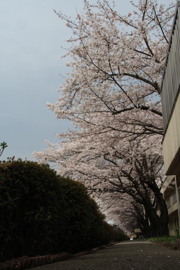Cherry blossom_e0061613_2359273.jpg