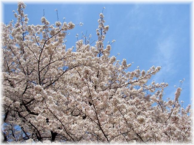 in full bloom_d0083623_1913248.jpg