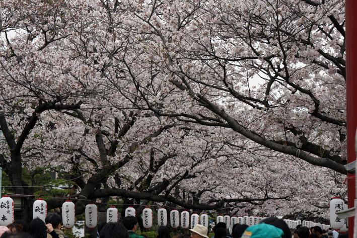 桜前線〈番外編〉〜鎌倉・段葛_c0035838_22584134.jpg
