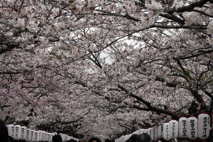 桜前線〈番外編〉〜鎌倉・段葛_c0035838_22592984.jpg