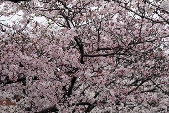 桜前線〈番外編〉〜鎌倉・段葛_c0035838_230585.jpg