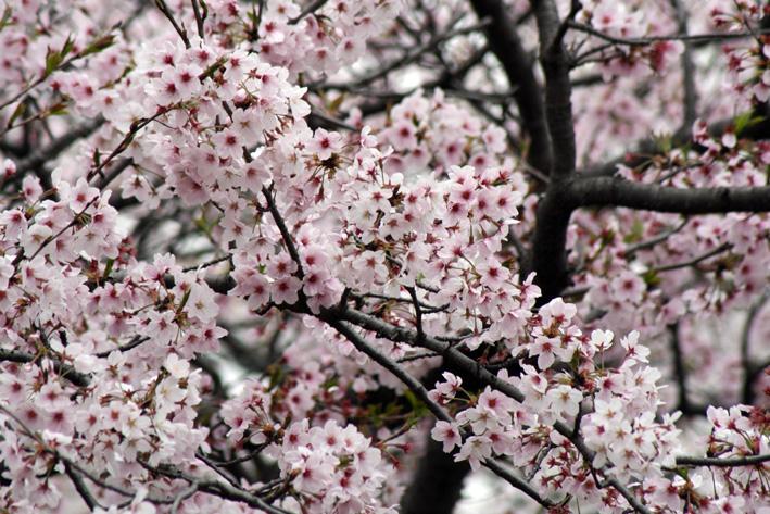 桜前線〈番外編〉〜鎌倉・段葛_c0035838_2311246.jpg