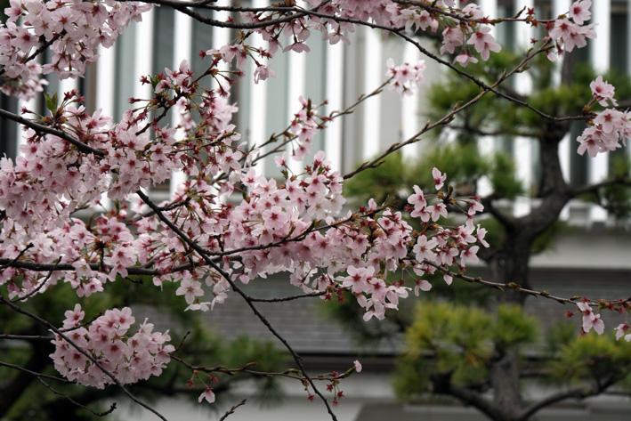 桜前線〈番外編〉〜鎌倉・段葛_c0035838_2322092.jpg